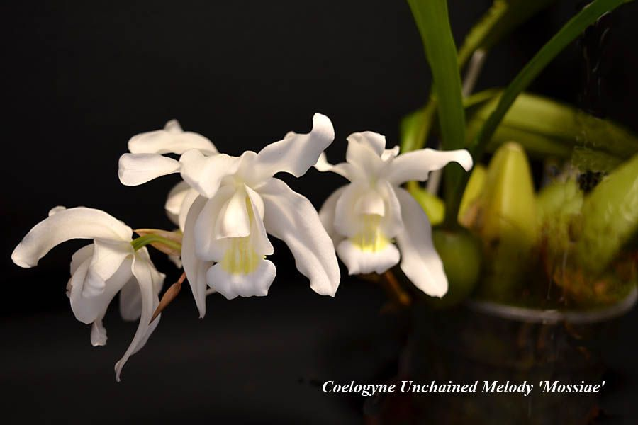 Coelogyne Unchained Melody 'Mossiae'