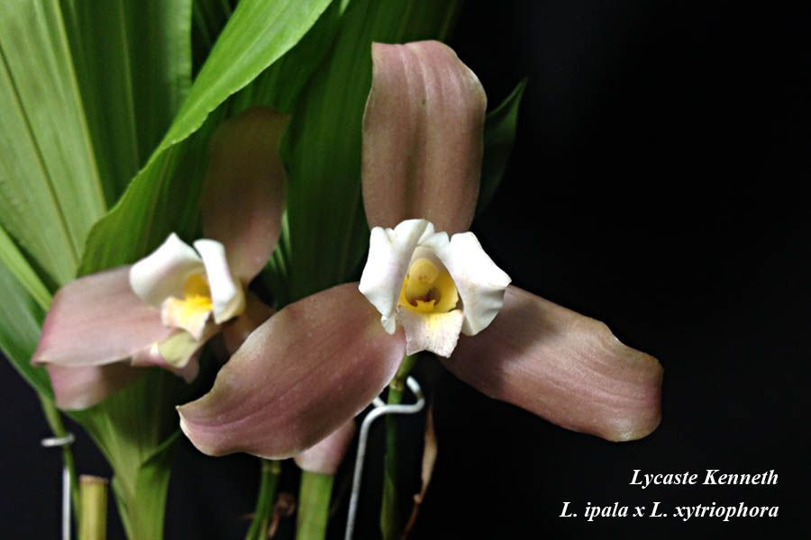 Lycaste Kenneth