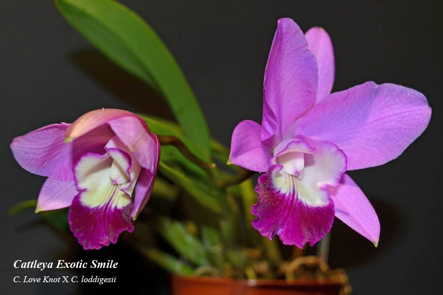 Cattleya Exotic Smile