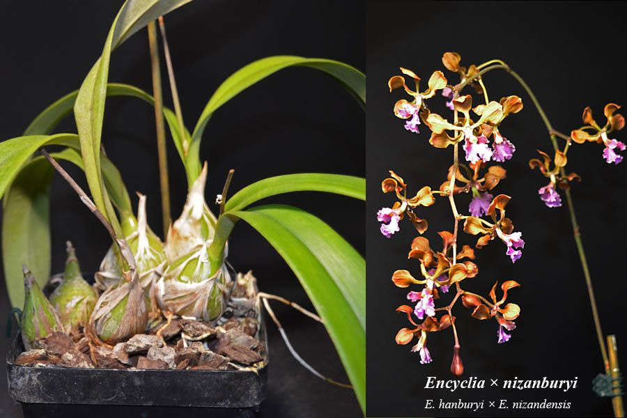 Encyclia nizanburyi