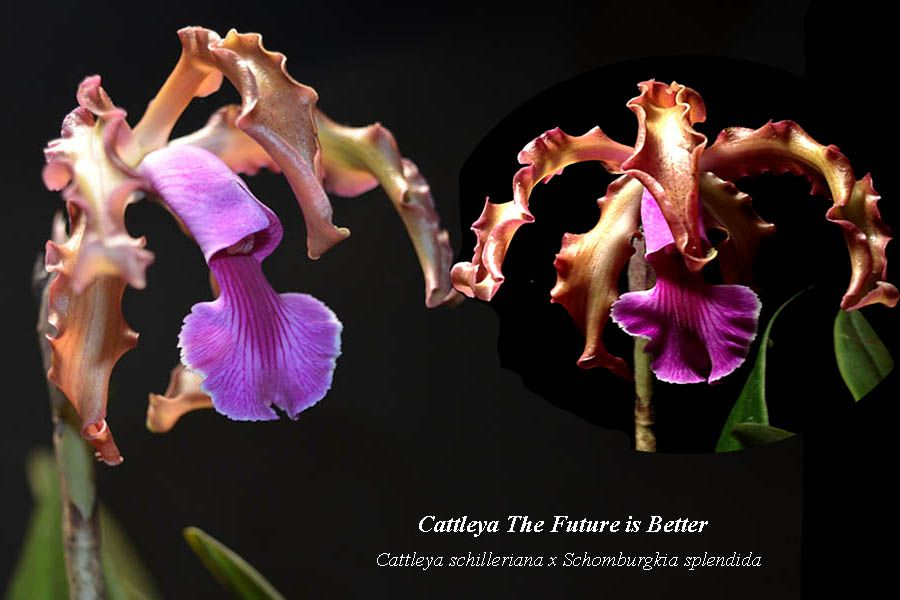 Cattleya The Future is Better