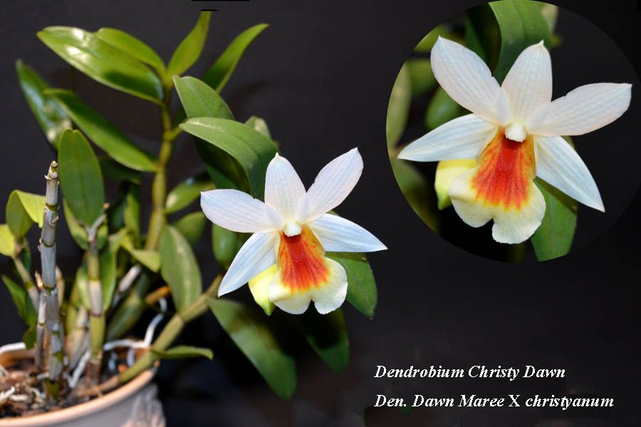 Dendrobium Christy Dawn